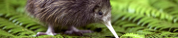 Kiwi chick, Kiwi Encounter. Image: Destination Rotorua Marketing